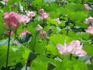 平川市 蓮の花 2017